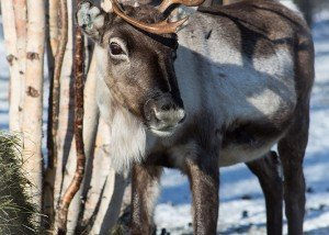 Wilderness Reindeer